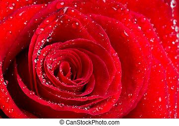 piękny, czerwony podniosłem się, pączek, z, waterdrops