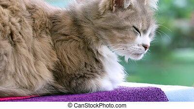 piękny, domowy kot, leżący, na stole, -, profil prospekt