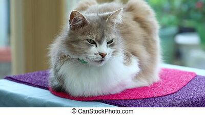 piękny, domowy kot, leżący, na stole