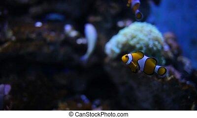 piękny, fish, akwarium