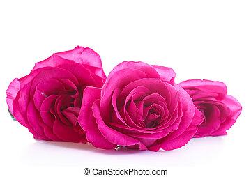 piękny, jasny goździk, róże