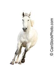 piękny, koń, biały, odizolowany, galopowanie