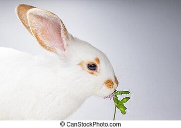piękny, koniczyna, jedzenie, tło, królik, nie, biały