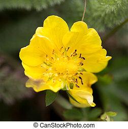 piękny, kwiat, żółty, natura