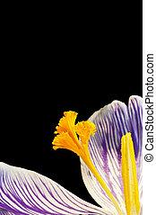 piękny, kwiat, purpurowy, wiosna, szczegół, żółty, do góry, oszałamiający, świeży, makro, zamknięcie, krokus