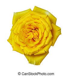 piękny, kwiat, róża, kochanek, odizolowany, żółte tło, ślub, biały