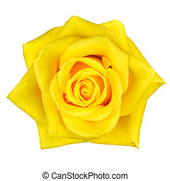 piękny, kwiat, róża, odizolowany, żółty, biały