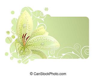 piękny, lekki, ułożyć, lilia, biały