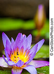 piękny, lotosowy kwiat, albo, waterlily, w, niejaki, staw