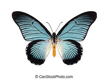 piękny, motyl, odizolowany, white., cyan, skrzydełka
