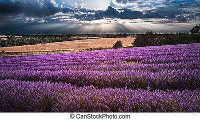piękny, niebo, lawendowe pole, dramatyczny, krajobraz