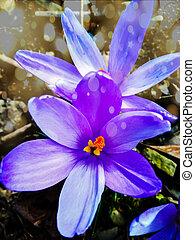 piękny, ogród, purpurowy, wiosna, krokus, kwiaty, pierwszy