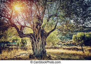 piękny, oliwne drzewo