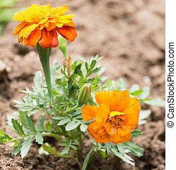 piękny, pomarańczowy kwiat, natura