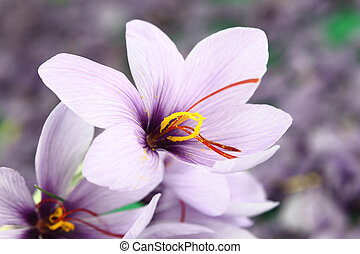 piękny, purpurowe kwiecie, szafran, krokus