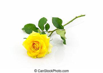piękny, róża, żółty, flower.