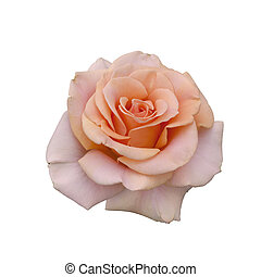 piękny, róża, beżowy