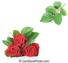 piękny, róża, liście, kwiaty