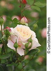 piękny, róża, ogród