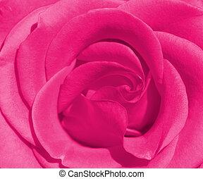piękny, róża
