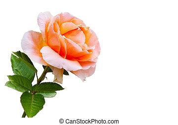 piękny, róża, szczelnie-do góry, kwiat