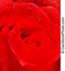 piękny, róża, szczelnie-do góry