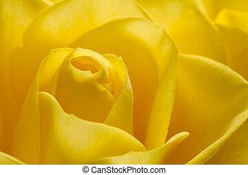 piękny, róża, wizerunek, do góry, żółty, zamknięcie