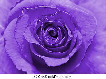 piękny, róża, wizerunek, do góry, fiołek, zamknięcie