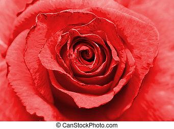 piękny, róża, wizerunek, do góry szczelnie, czerwony