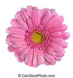 piękny, różowy kwiat, odizolowany, biały, gerbera
