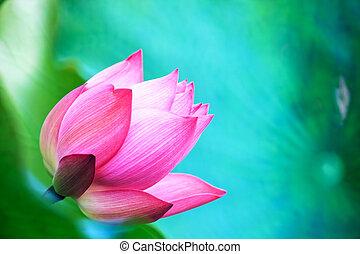 piękny, różowy kwiat, waterlily, lotos, staw, albo