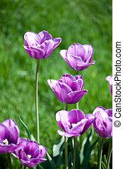 piękny, różowy, tulipany, w, ogród
