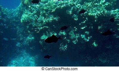 piękny, rafy, dookoła, barwny, koral, video, 4k, morze, ryby...