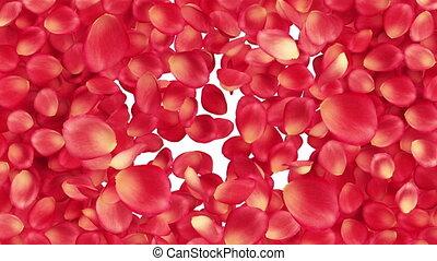 piękny, rose-petals, transition.
