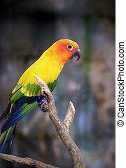 piękny, słońce, papuga długoogonowa, ptak, perching, na gałęzi