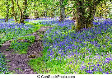 piękny, szkocja, las, dzwonki