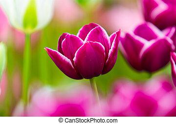 piękny, tulipany, flowers., field., tło, skoczcie kwiecie