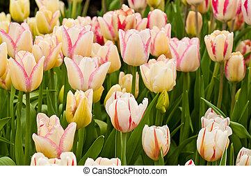 piękny, tulipany
