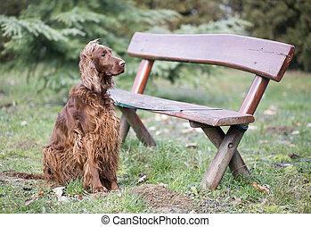 piękny, usługiwanie, pies