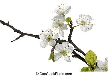 piękny, wiosna, kwiat