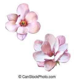 piękny, wiosna, magnolia, kwiat, odizolowany