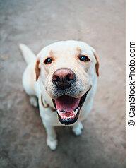 piękny, złoty, psi, labrador, he's, dog., uśmiechnięty., gorący, dorosły, czuły, summer.