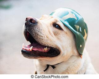 piękny, złoty, psi, labrador, he's, helmet., pies, uśmiechnięty., gorący, dorosły, wprawny, wojskowy, czuły, summer., wojna