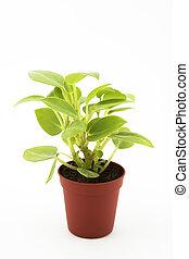 pianta, bianco, isolato