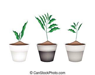 pianta, cardamon, ceramica, otri, fiore, fresco