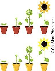 pianta, concetto, girasole, vettore, crescita, palcoscenici