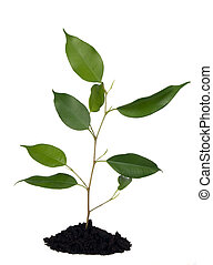 pianta, e, suolo