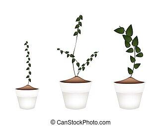 pianta, fiore, pianta rampicante, ceramica, otri, tre
