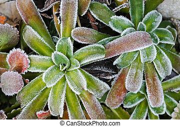 pianta, formare, ghiaccio, mattina, piccolo, cristalli