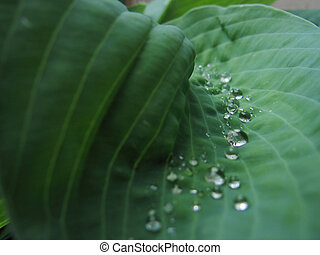 pianta, hosta, rugiada